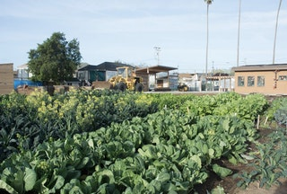 Vegetable crops at City Slicker Farms in West Oakland.